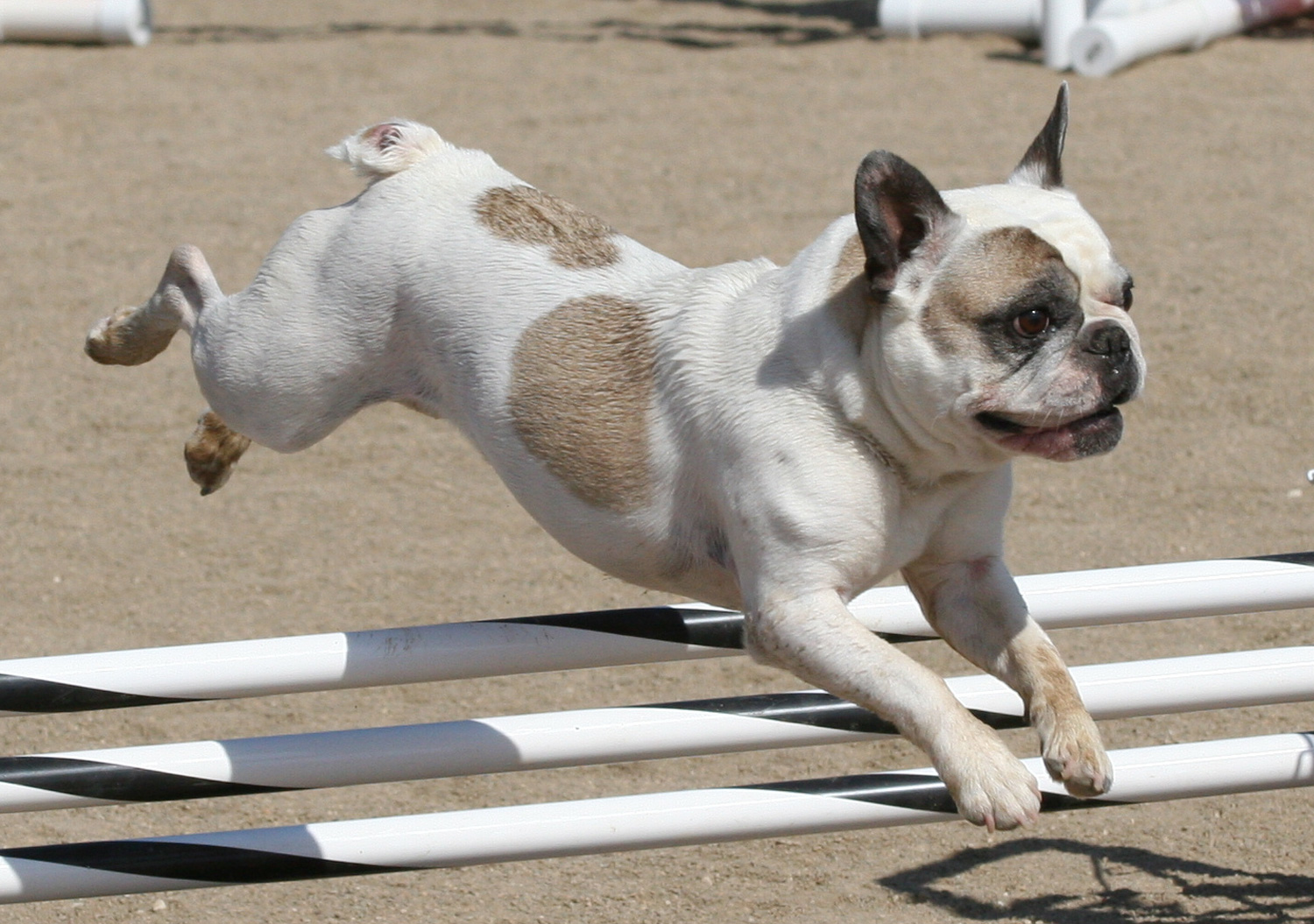 Welcome To The French Bull Dog Club Of America