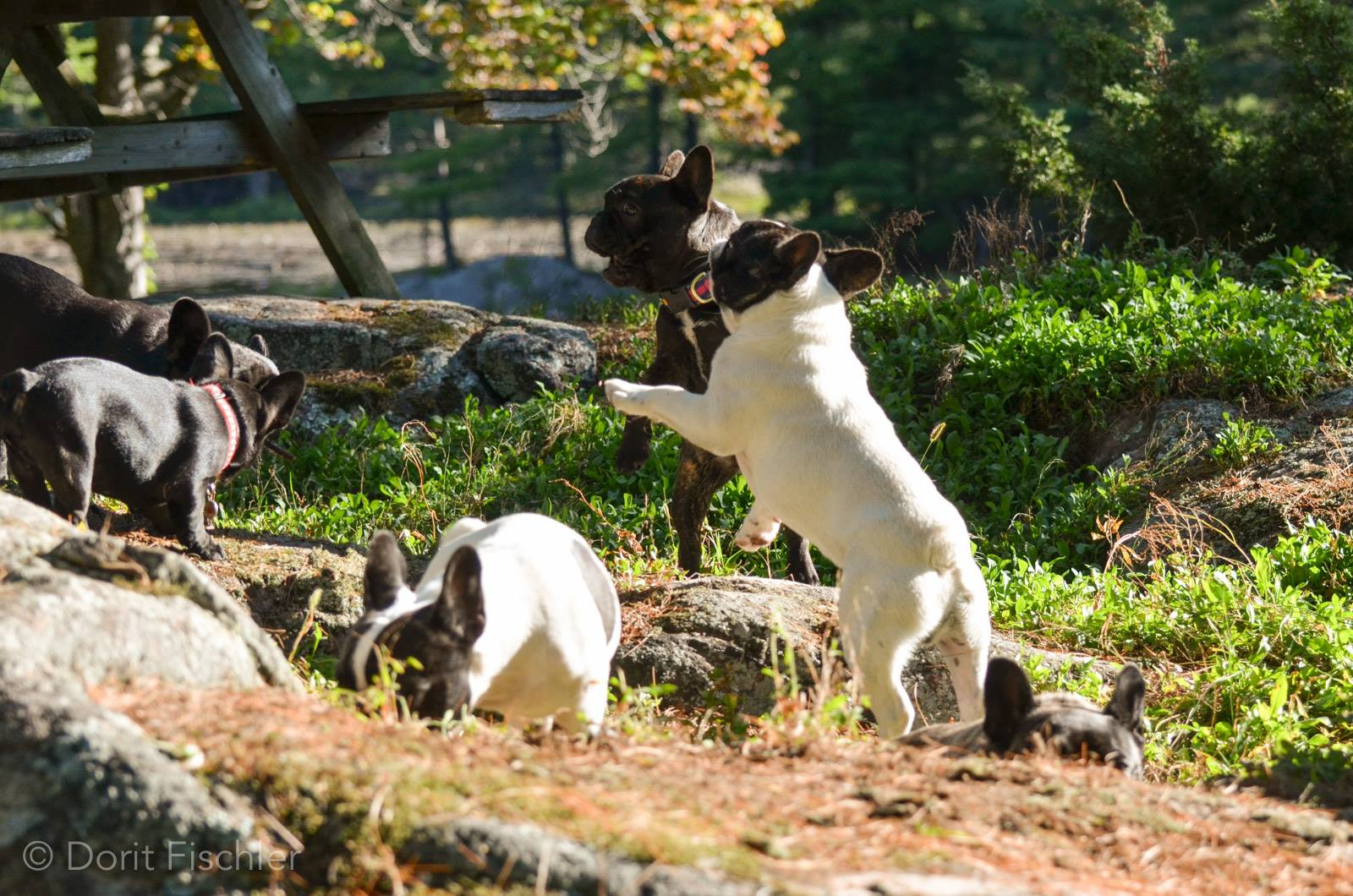 French Bulldogs playing