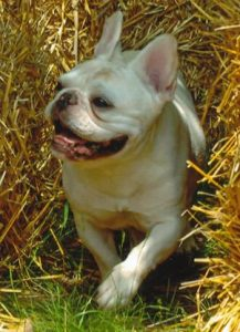 Welcome to the French Bull Dog Club of America!